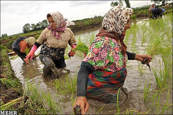 کاشتن برنج؛ دِرو کردن رنج
